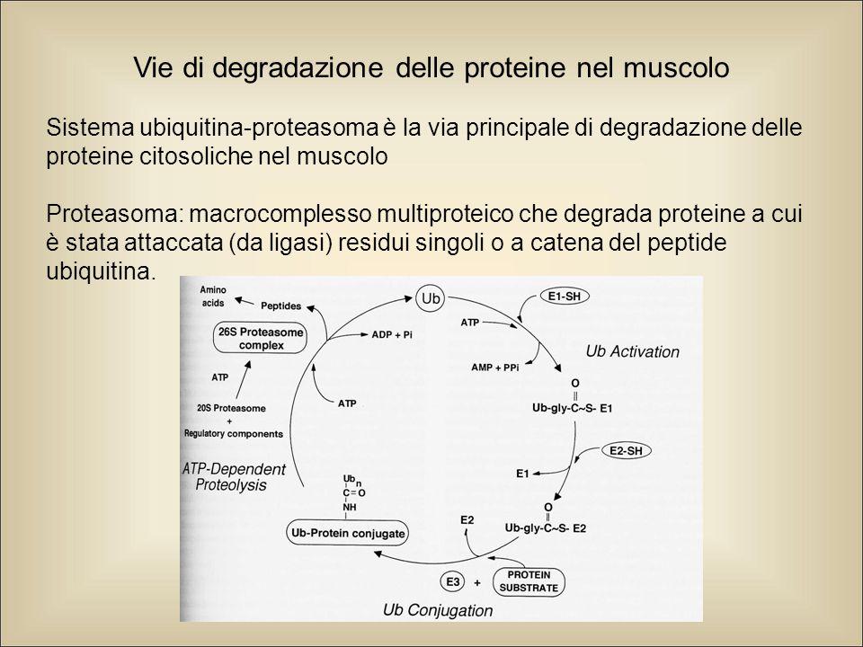 Vie di degradazione delle proteine nel muscolo Sistema ubiquitina-proteasoma è la via principale di degradazione delle proteine citosoliche nel muscolo Proteasoma: macrocomplesso multiproteico che degrada proteine a cui è stata attaccata (da ligasi) residui singoli o a catena del peptide ubiquitina.