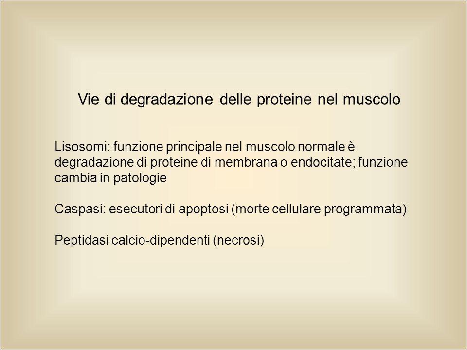 Vie di degradazione delle proteine nel muscolo Lisosomi: funzione principale nel muscolo normale è degradazione di proteine di membrana o endocitate; funzione cambia in patologie Caspasi: esecutori di apoptosi (morte cellulare programmata) Peptidasi calcio-dipendenti (necrosi)