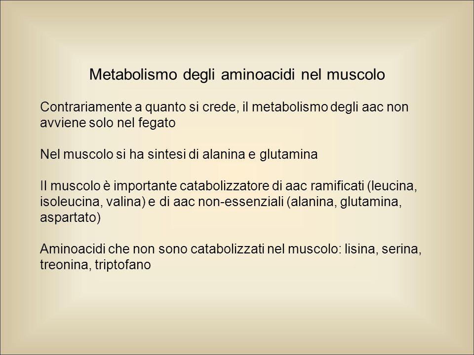 Metabolismo degli aminoacidi nel muscolo Contrariamente a quanto si crede, il metabolismo degli aac non avviene solo nel fegato Nel muscolo si ha sintesi di alanina e glutamina Il muscolo è importante catabolizzatore di aac ramificati (leucina, isoleucina, valina) e di aac non-essenziali (alanina, glutamina, aspartato) Aminoacidi che non sono catabolizzati nel muscolo: lisina, serina, treonina, triptofano