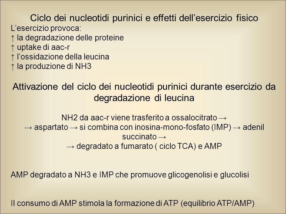 Ciclo dei nucleotidi purinici e effetti dell'esercizio fisico L'esercizio provoca: ↑ la degradazione delle proteine ↑ uptake di aac-r ↑ l'ossidazione della leucina ↑ la produzione di NH3 Attivazione del ciclo dei nucleotidi purinici durante esercizio da degradazione di leucina NH2 da aac-r viene trasferito a ossalocitrato → → aspartato → si combina con inosina-mono-fosfato (IMP) → adenil succinato → → degradato a fumarato ( ciclo TCA) e AMP AMP degradato a NH3 e IMP che promuove glicogenolisi e glucolisi Il consumo di AMP stimola la formazione di ATP (equilibrio ATP/AMP)