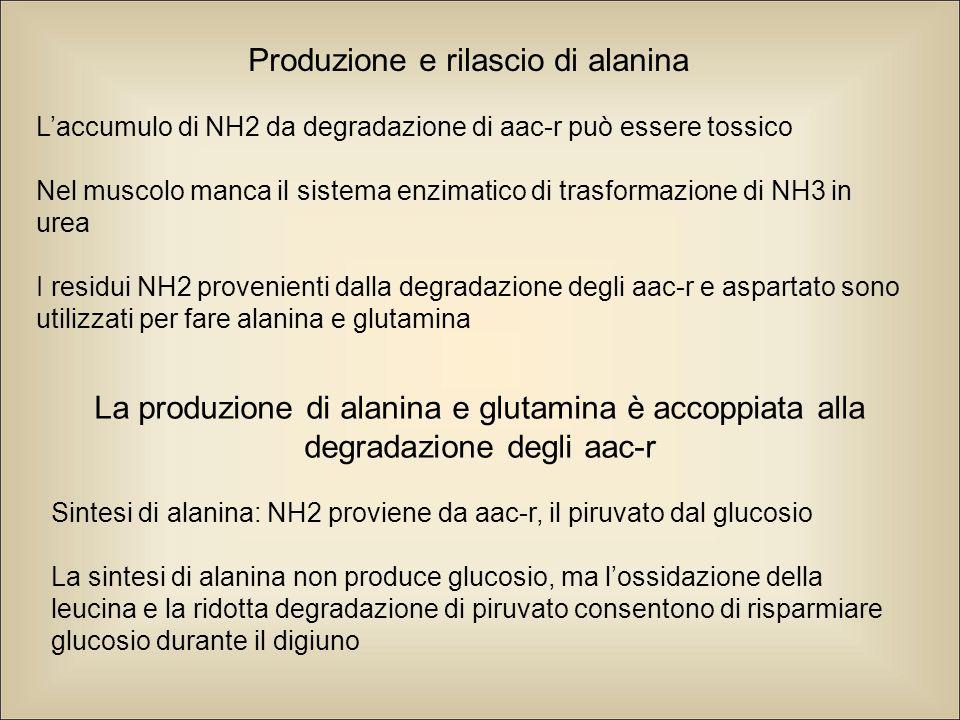 Produzione e rilascio di alanina L'accumulo di NH2 da degradazione di aac-r può essere tossico Nel muscolo manca il sistema enzimatico di trasformazione di NH3 in urea I residui NH2 provenienti dalla degradazione degli aac-r e aspartato sono utilizzati per fare alanina e glutamina La produzione di alanina e glutamina è accoppiata alla degradazione degli aac-r Sintesi di alanina: NH2 proviene da aac-r, il piruvato dal glucosio La sintesi di alanina non produce glucosio, ma l'ossidazione della leucina e la ridotta degradazione di piruvato consentono di risparmiare glucosio durante il digiuno