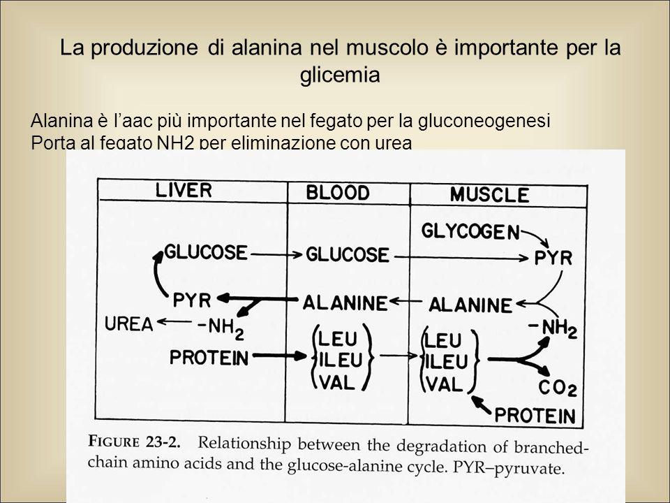 La produzione di alanina nel muscolo è importante per la glicemia Alanina è l'aac più importante nel fegato per la gluconeogenesi Porta al fegato NH2 per eliminazione con urea