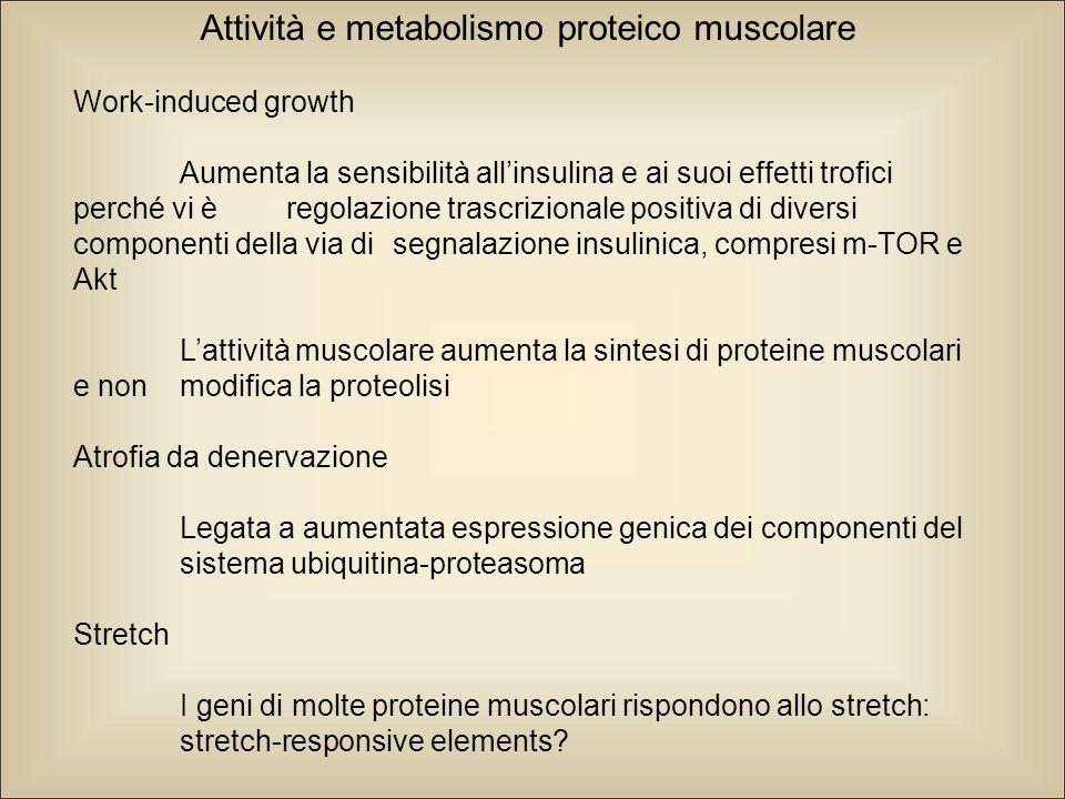 Attività e metabolismo proteico muscolare Work-induced growth Aumenta la sensibilità all'insulina e ai suoi effetti trofici perché vi è regolazione trascrizionale positiva di diversi componenti della via di segnalazione insulinica, compresi m-TOR e Akt L'attività muscolare aumenta la sintesi di proteine muscolari e non modifica la proteolisi Atrofia da denervazione Legata a aumentata espressione genica dei componenti del sistema ubiquitina-proteasoma Stretch I geni di molte proteine muscolari rispondono allo stretch: stretch-responsive elements?