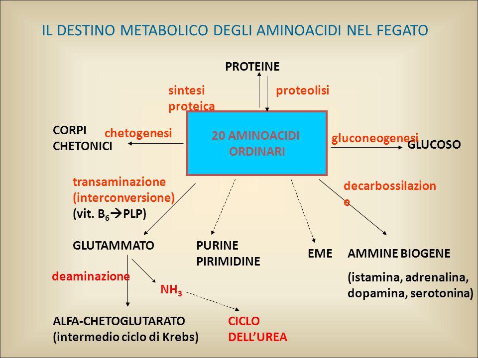 IL DESTINO METABOLICO DEGLI AMINOACIDI NEL FEGATO 20 AMINOACIDI ORDINARI PROTEINE AMMINE BIOGENE (istamina, adrenalina, dopamina, serotonina) proteolisisintesi proteica transaminazione (interconversione) (vit.
