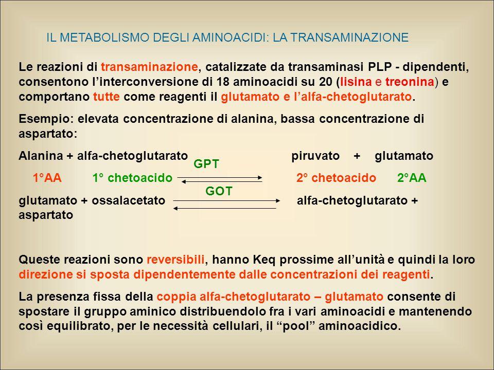 IL METABOLISMO DEGLI AMINOACIDI: LA TRANSAMINAZIONE Le reazioni di transaminazione, catalizzate da transaminasi PLP - dipendenti, consentono l'interconversione di 18 aminoacidi su 20 (lisina e treonina) e comportano tutte come reagenti il glutamato e l'alfa-chetoglutarato.