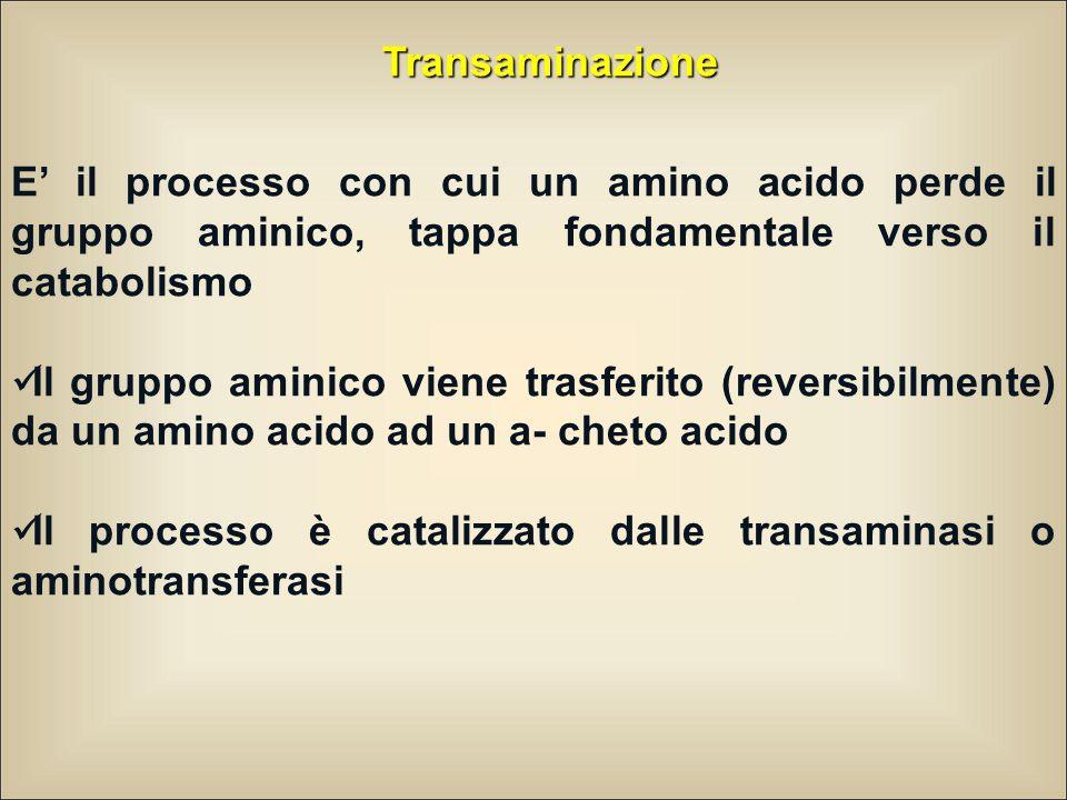 Transaminazione E' il processo con cui un amino acido perde il gruppo aminico, tappa fondamentale verso il catabolismo Il gruppo aminico viene trasferito (reversibilmente) da un amino acido ad un a- cheto acido Il processo è catalizzato dalle transaminasi o aminotransferasi