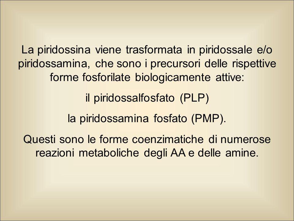 La piridossina viene trasformata in piridossale e/o piridossamina, che sono i precursori delle rispettive forme fosforilate biologicamente attive: il piridossalfosfato (PLP) la piridossamina fosfato (PMP).