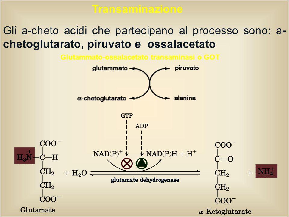 Transaminazione Gli a-cheto acidi che partecipano al processo sono: a- chetoglutarato, piruvato e ossalacetato Glutammato-ossalacetato transaminasi o GOT