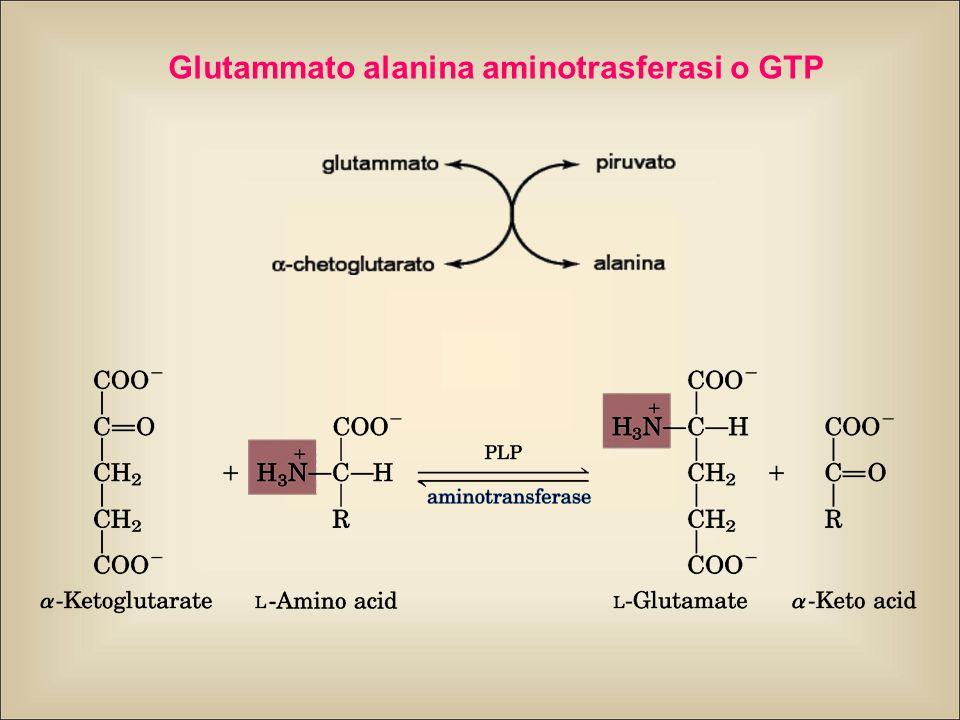 Glutammato alanina aminotrasferasi o GTP