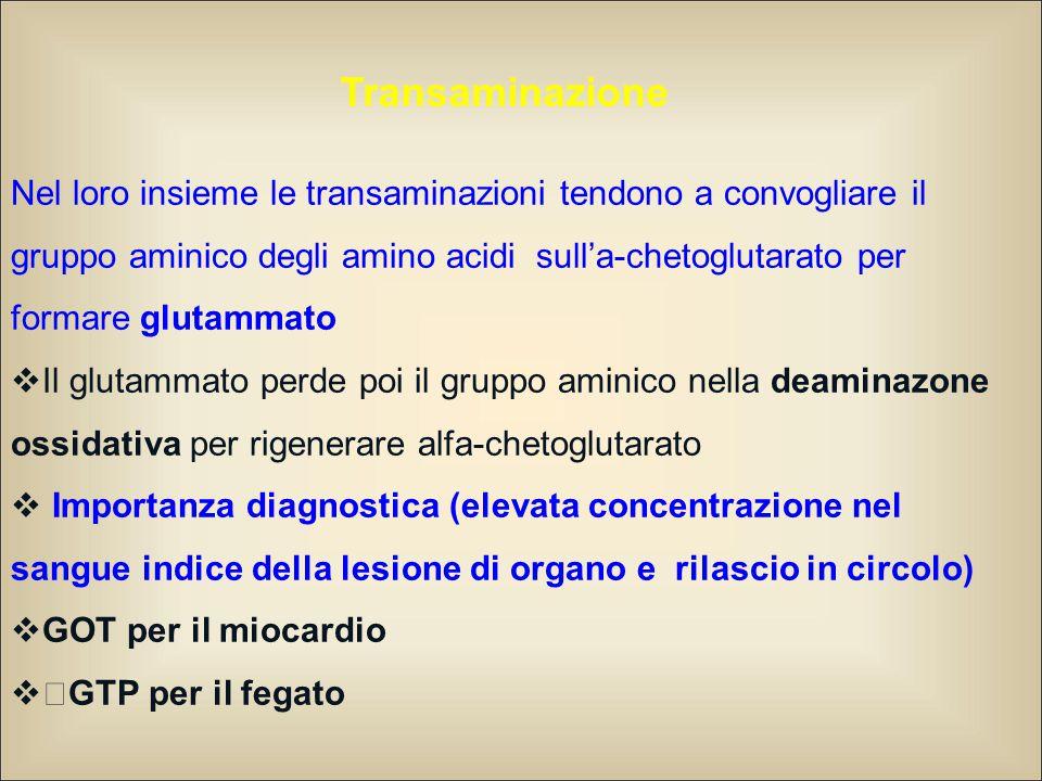 Nel loro insieme le transaminazioni tendono a convogliare il gruppo aminico degli amino acidi sull'a-chetoglutarato per formare glutammato  Il glutam