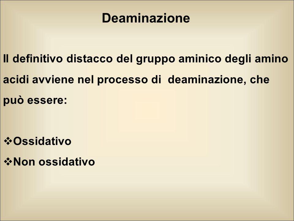 Deaminazione Il definitivo distacco del gruppo aminico degli amino acidi avviene nel processo di deaminazione, che può essere:  Ossidativo  Non ossi
