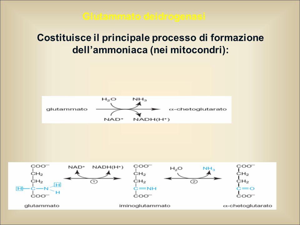 Glutammato deidrogenasi Costituisce il principale processo di formazione dell'ammoniaca (nei mitocondri):