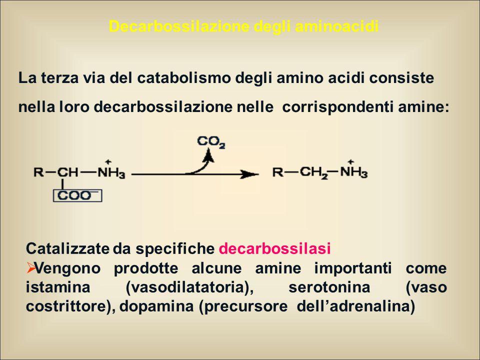 Decarbossilazione degli aminoacidi La terza via del catabolismo degli amino acidi consiste nella loro decarbossilazione nelle corrispondenti amine: Catalizzate da specifiche decarbossilasi  Vengono prodotte alcune amine importanti come istamina (vasodilatatoria), serotonina (vaso costrittore), dopamina (precursore dell'adrenalina)