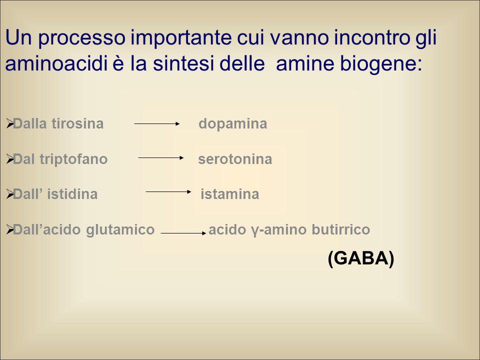 Un processo importante cui vanno incontro gli aminoacidi è la sintesi delle amine biogene:  Dalla tirosina dopamina  Dal triptofano serotonina  Dall' istidina istamina  Dall'acido glutamico acido γ-amino butirrico (GABA)