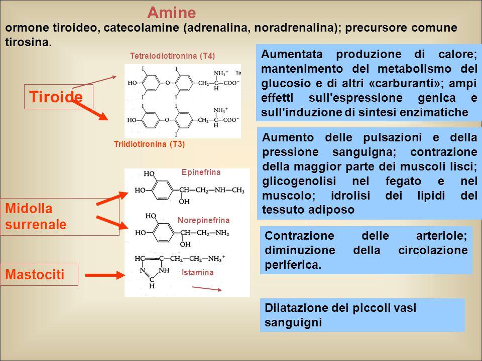 Aumentata produzione di calore; mantenimento del metabolismo del glucosio e di altri «carburanti»; ampi effetti sull espressione genica e sull induzione di sintesi enzimatiche ormone tiroideo, catecolamine (adrenalina, noradrenalina); precursore comune tirosina.
