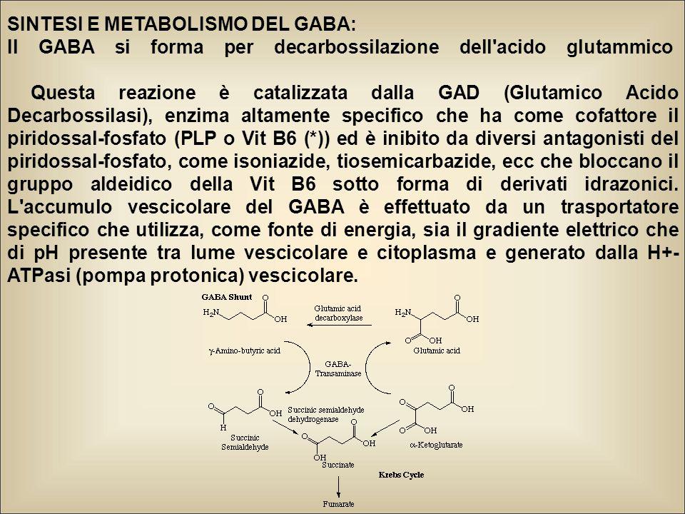 SINTESI E METABOLISMO DEL GABA: Il GABA si forma per decarbossilazione dell acido glutammico Questa reazione è catalizzata dalla GAD (Glutamico Acido Decarbossilasi), enzima altamente specifico che ha come cofattore il piridossal-fosfato (PLP o Vit B6 (*)) ed è inibito da diversi antagonisti del piridossal-fosfato, come isoniazide, tiosemicarbazide, ecc che bloccano il gruppo aldeidico della Vit B6 sotto forma di derivati idrazonici.