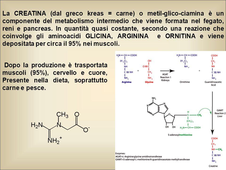 La CREATINA (dal greco kreas = carne) o metil-glico-ciamina è un componente del metabolismo intermedio che viene formata nel fegato, reni e pancreas.
