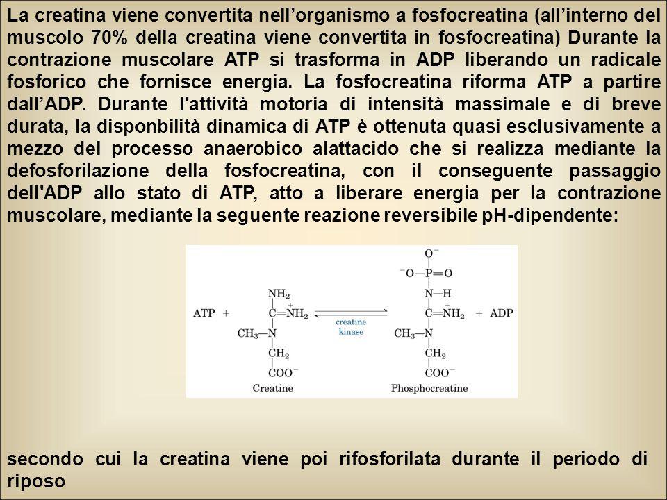 La creatina viene convertita nell'organismo a fosfocreatina (all'interno del muscolo 70% della creatina viene convertita in fosfocreatina) Durante la contrazione muscolare ATP si trasforma in ADP liberando un radicale fosforico che fornisce energia.