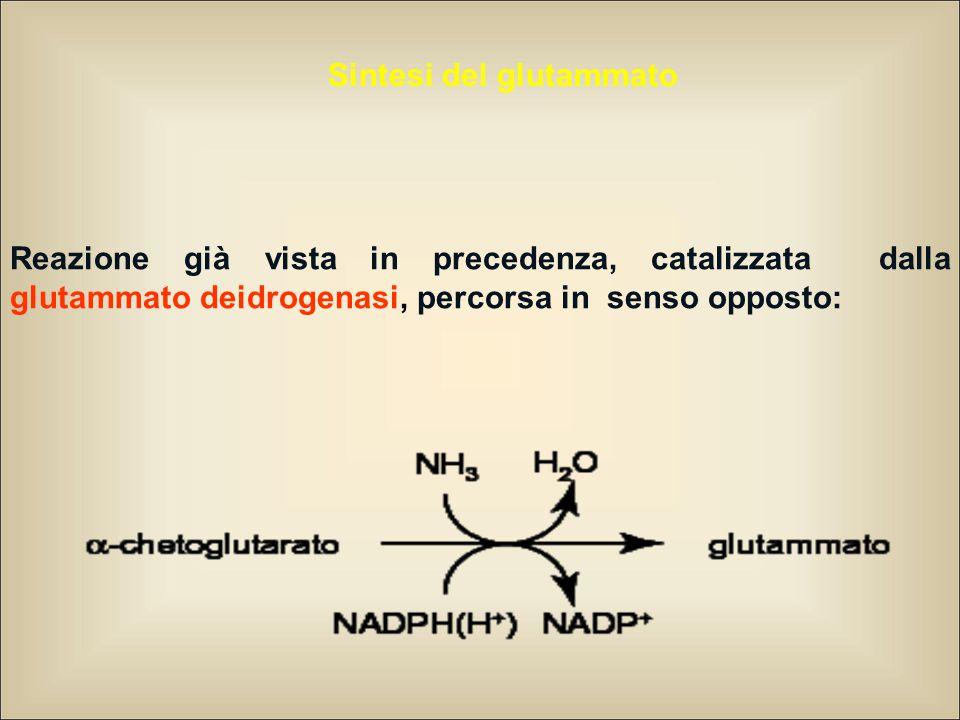 Reazione già vista in precedenza, catalizzata dalla glutammato deidrogenasi, percorsa in senso opposto: Sintesi del glutammato