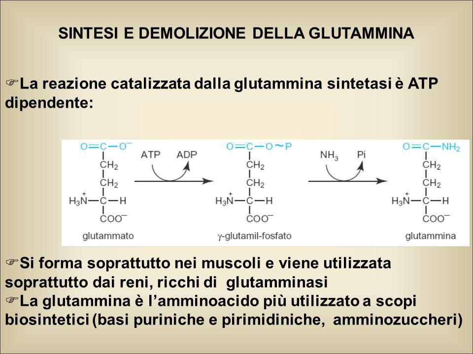 SINTESI E DEMOLIZIONE DELLA GLUTAMMINA  La reazione catalizzata dalla glutammina sintetasi è ATP dipendente:  Si forma soprattutto nei muscoli e viene utilizzata soprattutto dai reni, ricchi di glutamminasi  La glutammina è l'amminoacido più utilizzato a scopi biosintetici (basi puriniche e pirimidiniche, amminozuccheri)