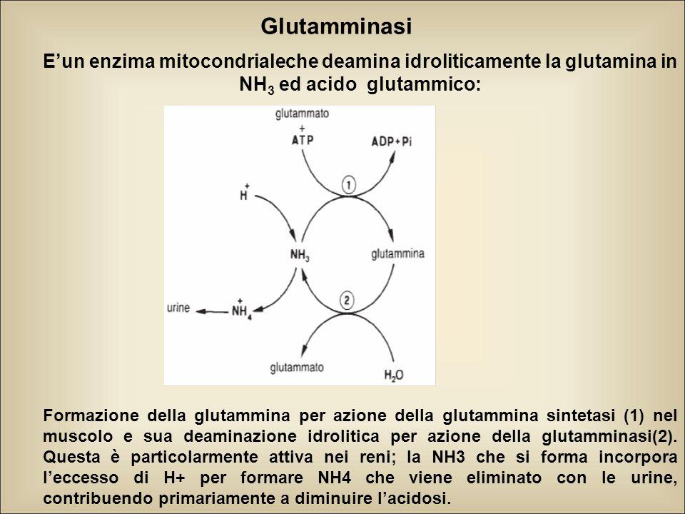 Glutamminasi E'un enzima mitocondrialeche deamina idroliticamente la glutamina in NH 3 ed acido glutammico: Formazione della glutammina per azione della glutammina sintetasi (1) nel muscolo e sua deaminazione idrolitica per azione della glutamminasi(2).
