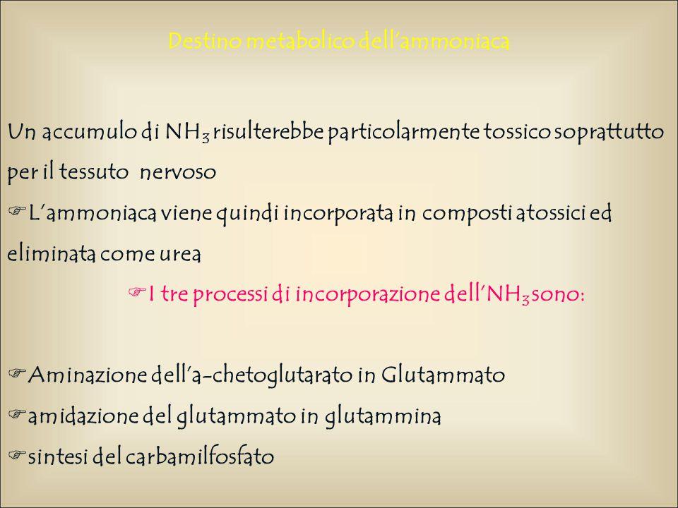 Destino metabolico dell'ammoniaca Un accumulo di NH 3 risulterebbe particolarmente tossico soprattutto per il tessuto nervoso  L'ammoniaca viene quin
