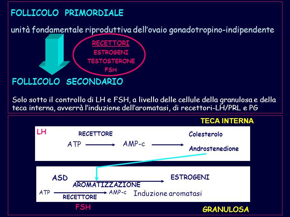 FOLLICOLO PRIMORDIALE unità fondamentale riproduttiva dell'ovaio gonadotropino-indipendente FOLLICOLO SECONDARIO Solo sotto il controllo di LH e FSH,
