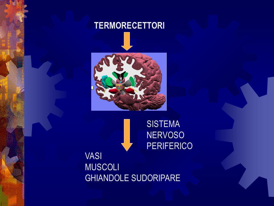 CALORE PRODOTTO Risultato del metabolismo corporeo: La somma delle reazioni chimiche metaboliche è esotermica Le principali sedi di produzione sono: A riposo i territori centrali del corpo In attività i muscoli