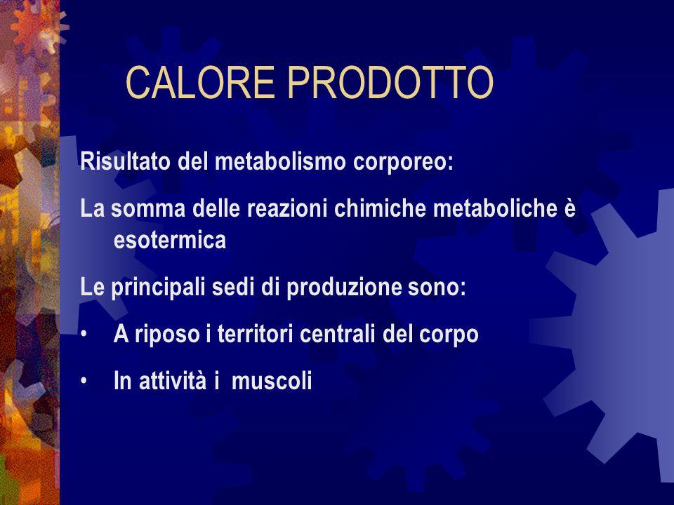 CALORE PRODOTTO Risultato del metabolismo corporeo: La somma delle reazioni chimiche metaboliche è esotermica Le principali sedi di produzione sono: A