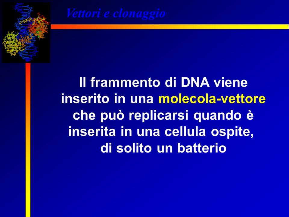 Vettori e clonaggio Il frammento di DNA viene inserito in una molecola-vettore che può replicarsi quando è inserita in una cellula ospite, di solito u