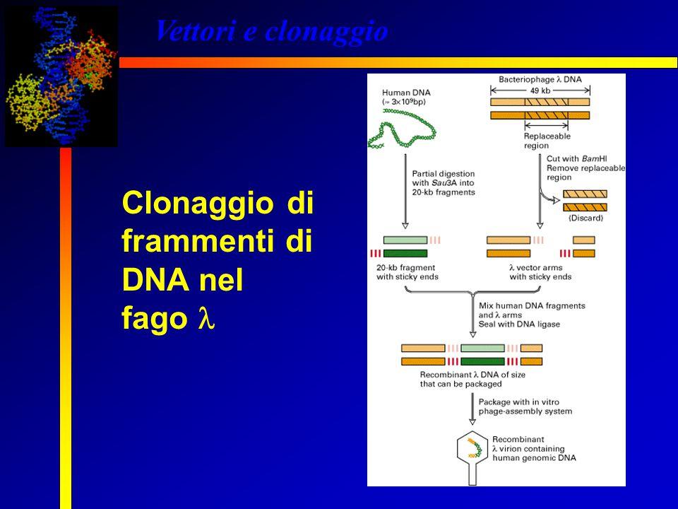 Vettori e clonaggio Clonaggio di frammenti di DNA nel fago