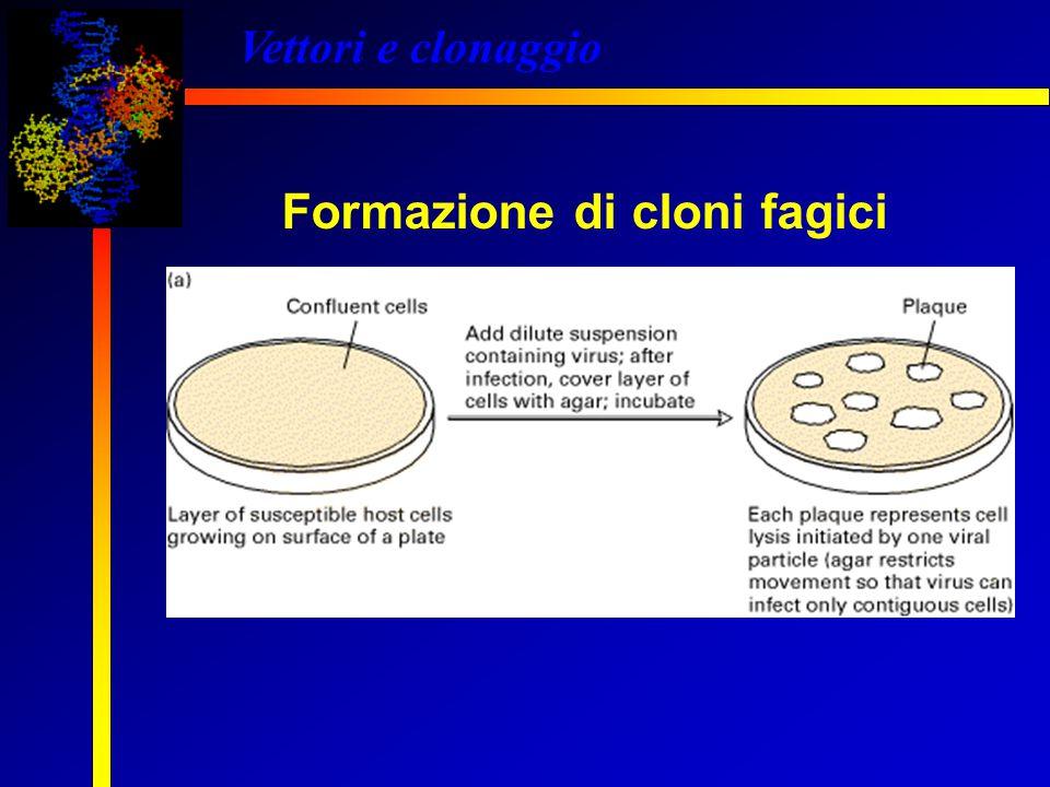 Vettori e clonaggio Formazione di cloni fagici