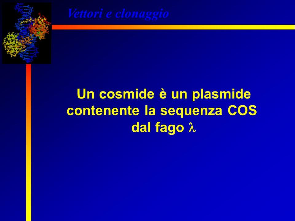 Vettori e clonaggio Un cosmide è un plasmide contenente la sequenza COS dal fago