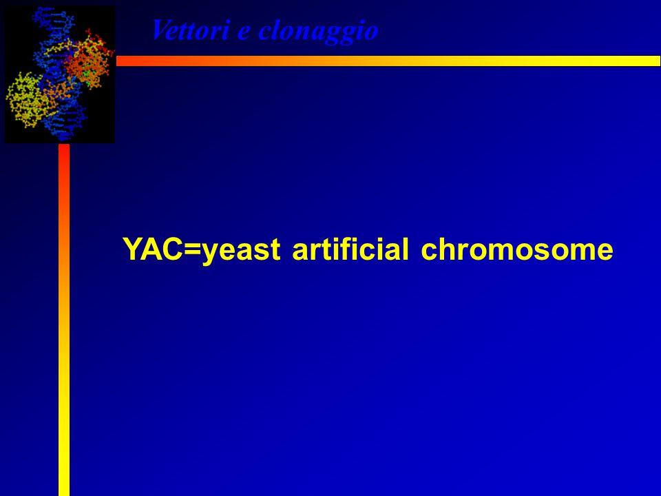 Vettori e clonaggio YAC=yeast artificial chromosome