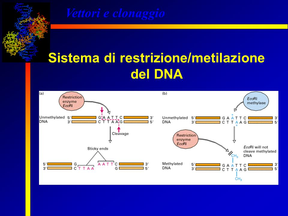Vettori e clonaggio Sistema di restrizione/metilazione del DNA