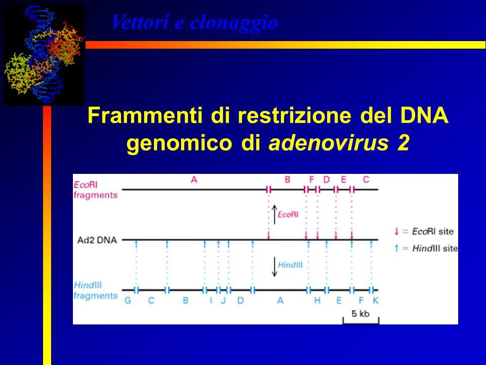 Vettori e clonaggio Frammenti di restrizione del DNA genomico di adenovirus 2