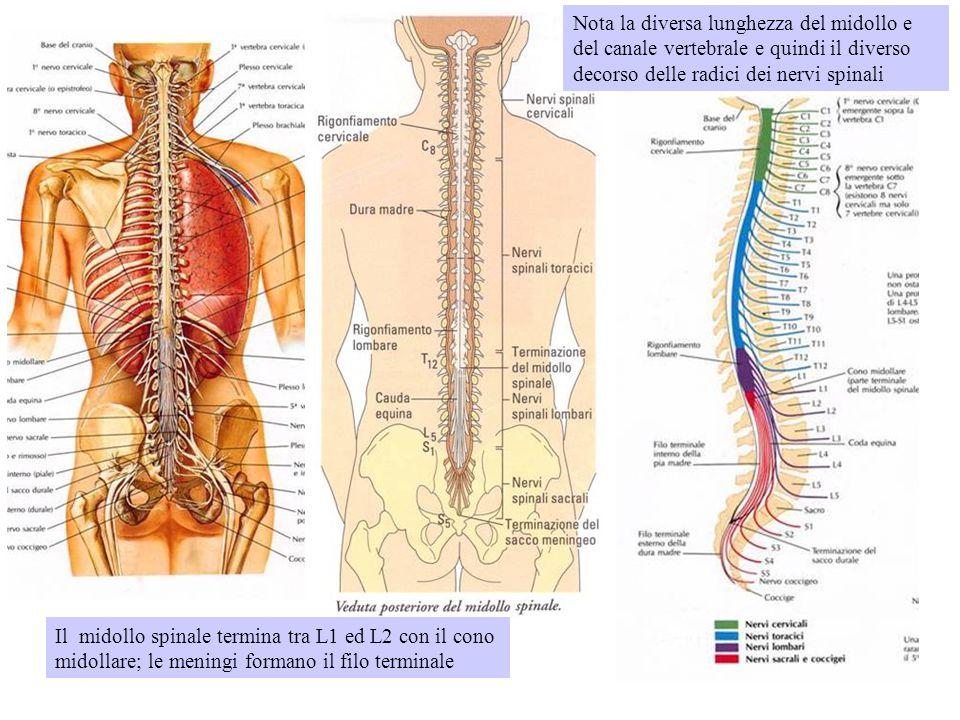 Il midollo spinale termina tra L1 ed L2 con il cono midollare; le meningi formano il filo terminale Nota la diversa lunghezza del midollo e del canale