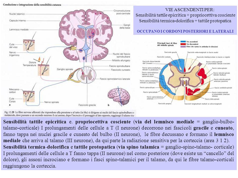 Sensibilità tattile epicritica e. propriocettiva cosciente (via del lemnisco mediale = ganglio-bulbo- talamo-corticale) I prolungamenti delle cellule
