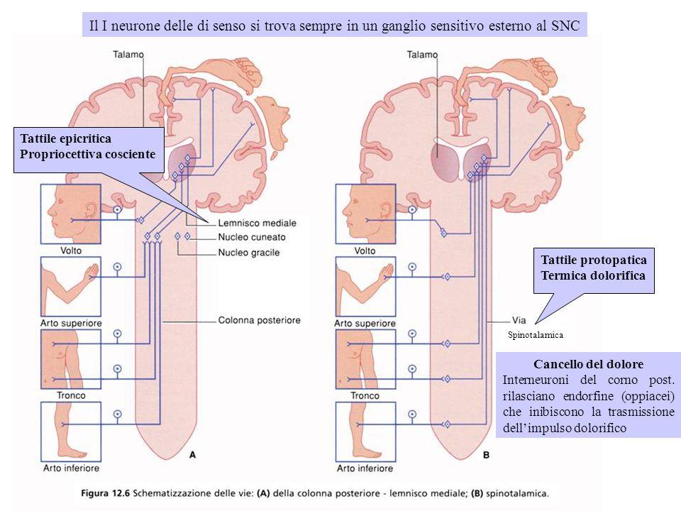 Il I neurone delle di senso si trova sempre in un ganglio sensitivo esterno al SNC Tattile epicritica Propriocettiva cosciente Tattile protopatica Ter