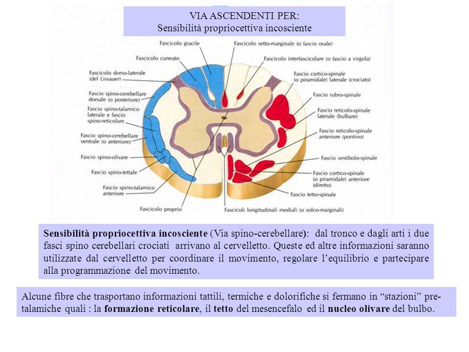 VIA ASCENDENTI PER: Sensibilità propriocettiva incosciente Sensibilità propriocettiva incosciente (Via spino-cerebellare): dal tronco e dagli arti i d