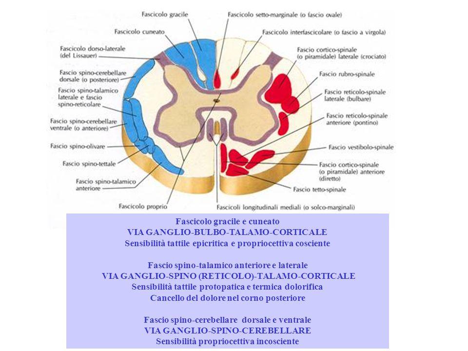 Fascicolo gracile e cuneato VIA GANGLIO-BULBO-TALAMO-CORTICALE Sensibilità tattile epicritica e propriocettiva cosciente Fascio spino-talamico anterio