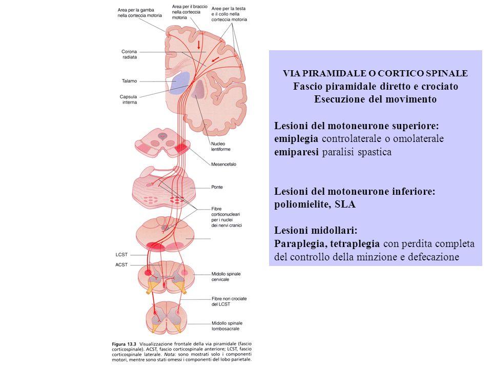 VIA PIRAMIDALE O CORTICO SPINALE Fascio piramidale diretto e crociato Esecuzione del movimento Lesioni del motoneurone superiore: emiplegia controlate