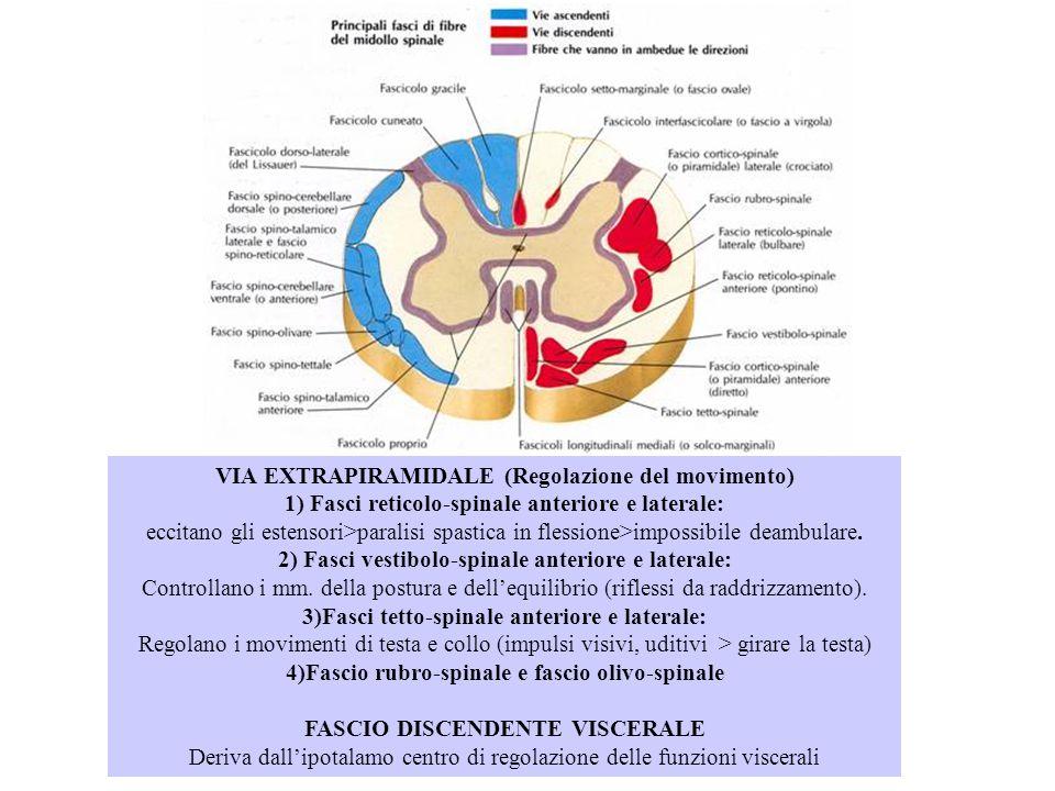 VIA EXTRAPIRAMIDALE (Regolazione del movimento) 1) Fasci reticolo-spinale anteriore e laterale: eccitano gli estensori>paralisi spastica in flessione>