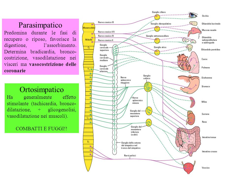 Parasimpatico Predomina durante le fasi di recupero o riposo, favorisce la digestione, l'assorbimento. Determina bradicardia, bronco- costrizione, vas