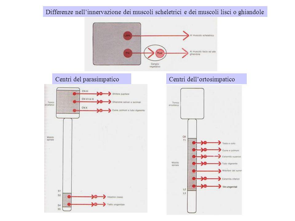Centri del parasimpaticoCentri dell'ortosimpatico Differenze nell'innervazione dei muscoli scheletrici e dei muscoli lisci o ghiandole