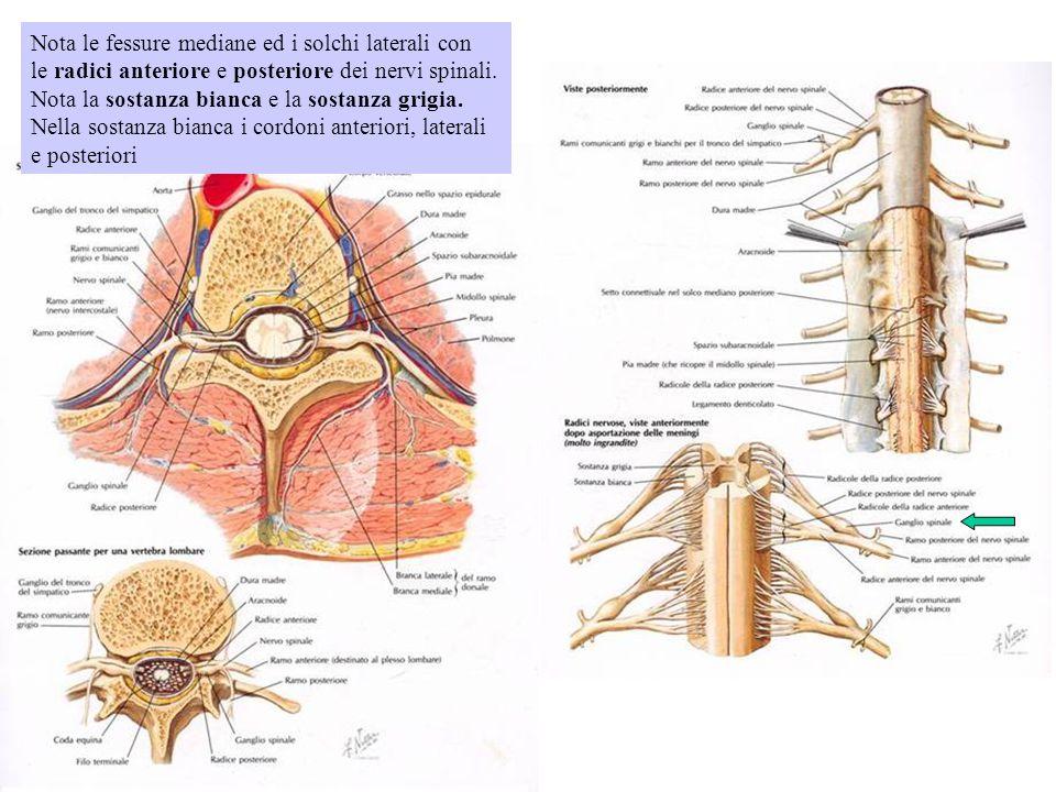 Nota le fessure mediane ed i solchi laterali con le radici anteriore e posteriore dei nervi spinali. Nota la sostanza bianca e la sostanza grigia. Nel