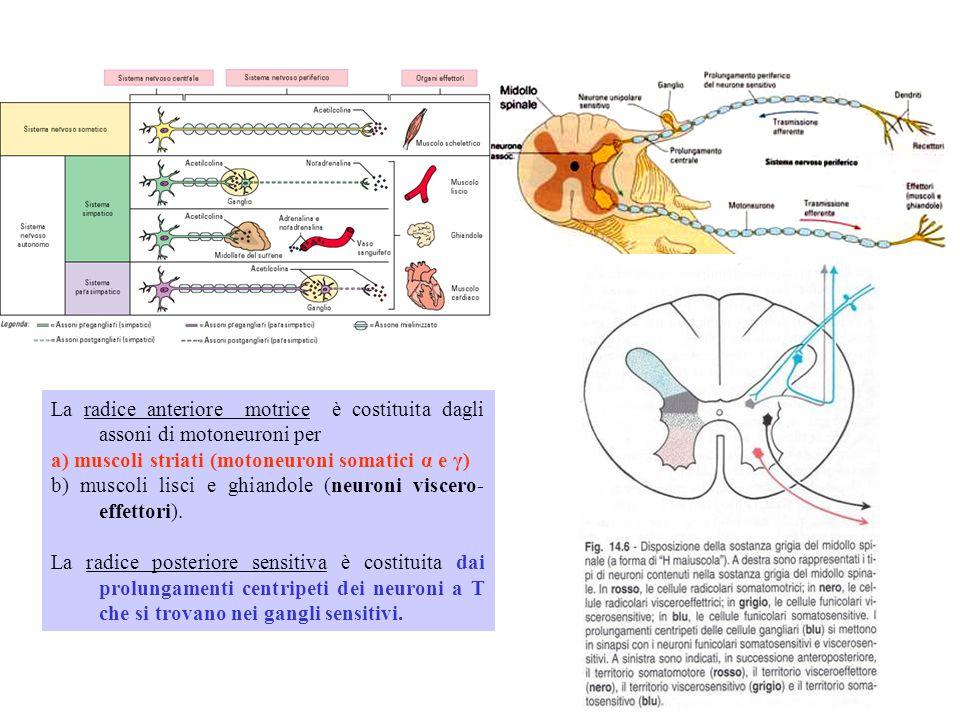 La radice anteriore motrice è costituita dagli assoni di motoneuroni per a) muscoli striati (motoneuroni somatici α e γ) b) muscoli lisci e ghiandole