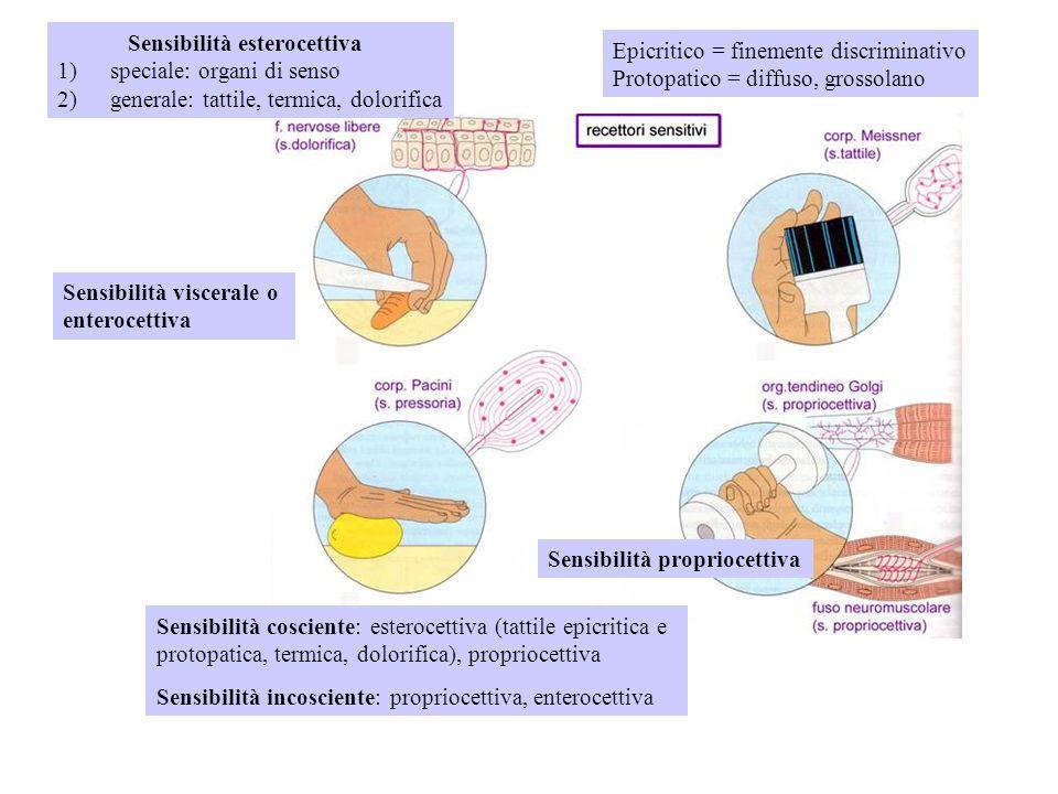 Sensibilità cosciente: esterocettiva (tattile epicritica e protopatica, termica, dolorifica), propriocettiva Sensibilità incosciente: propriocettiva,