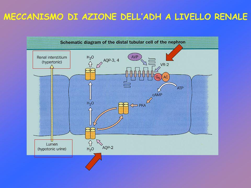 MECCANISMO DI AZIONE DELL'ADH A LIVELLO RENALE