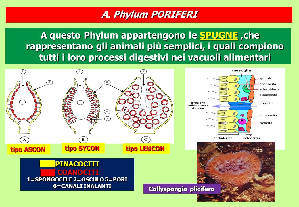 A questo Phylum appartengono le SPUGNE,che rappresentano gli animali più semplici, i quali compiono tutti i loro processi digestivi nei vacuoli alimen